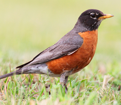 red-breasted-robin