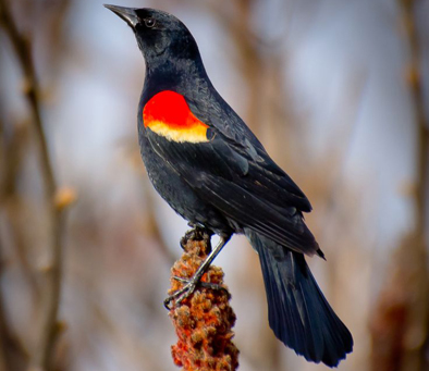 red-winged-blackbird